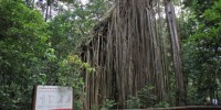 Giant Figtree